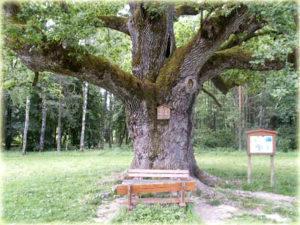 Die 1000-jährige Eiche